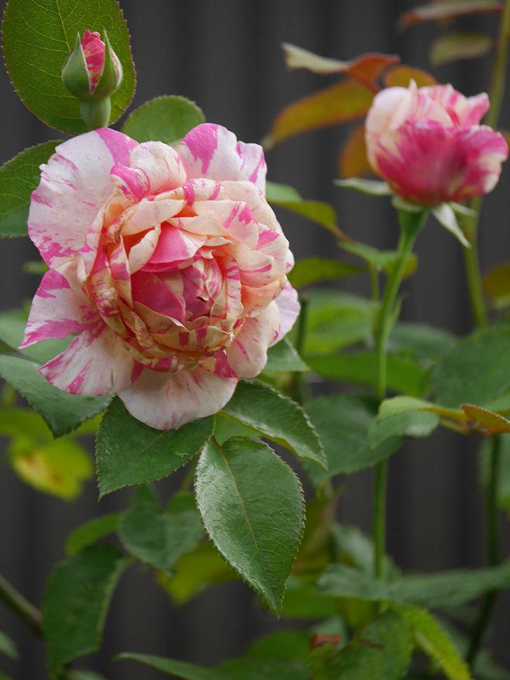 エドゥアール・マネ(Edouard Manet)の2番花が咲いた。半ツルバラ。2020年-013.jpg