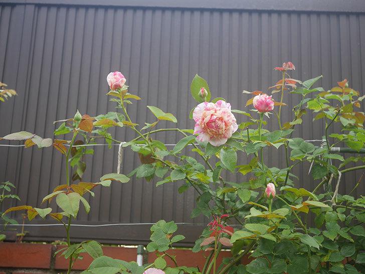 エドゥアール・マネ(Edouard Manet)の2番花が咲いた。半ツルバラ。2020年-016.jpg