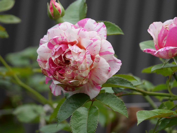 エドゥアール・マネ(Edouard Manet)の2番花が増えてきた。半ツルバラ。2020年-001.jpg