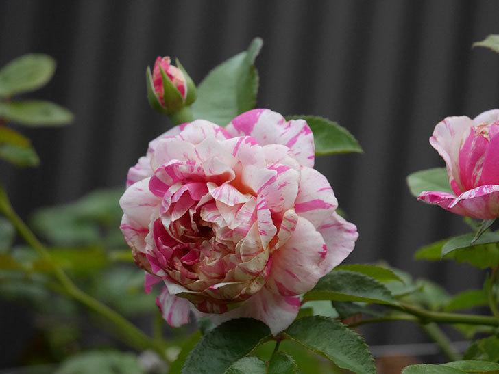 エドゥアール・マネ(Edouard Manet)の2番花が増えてきた。半ツルバラ。2020年-002.jpg