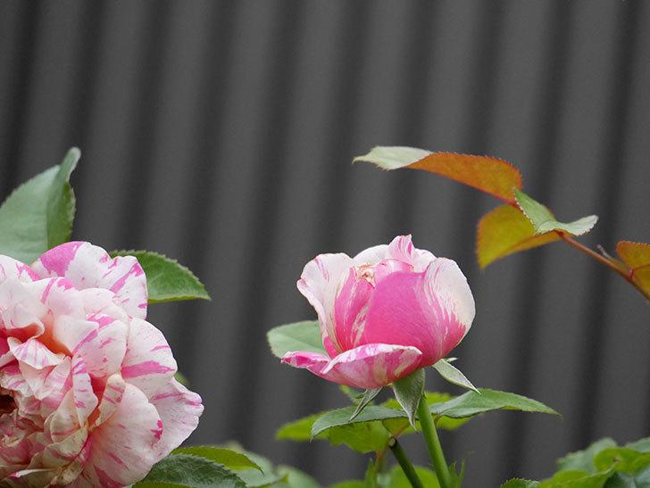 エドゥアール・マネ(Edouard Manet)の2番花が増えてきた。半ツルバラ。2020年-003.jpg
