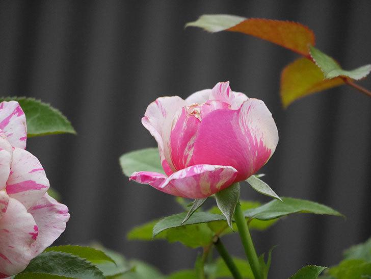 エドゥアール・マネ(Edouard Manet)の2番花が増えてきた。半ツルバラ。2020年-004.jpg