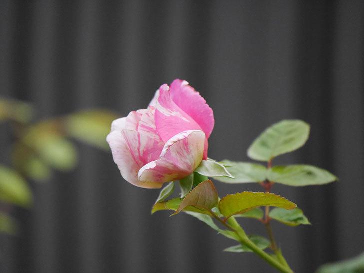 エドゥアール・マネ(Edouard Manet)の2番花が増えてきた。半ツルバラ。2020年-007.jpg