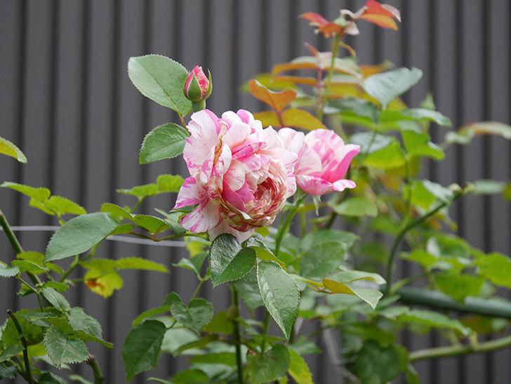エドゥアール・マネ(Edouard Manet)の2番花が増えてきた。半ツルバラ。2020年-008.jpg