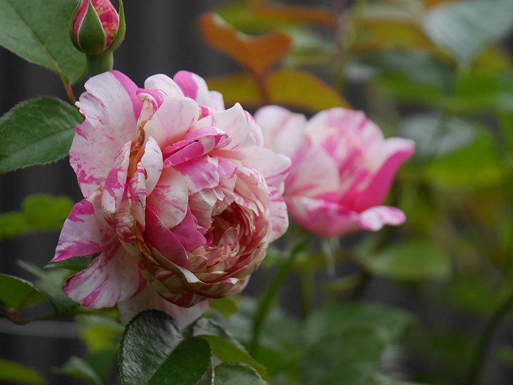 エドゥアール・マネ(Edouard Manet)の2番花が増えてきた。半ツルバラ。2020年-010.jpg