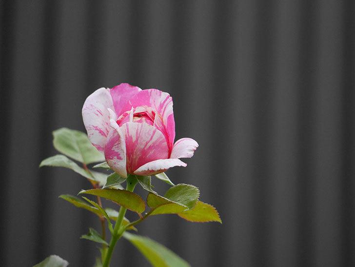 エドゥアール・マネ(Edouard Manet)の2番花が増えてきた。半ツルバラ。2020年-011.jpg