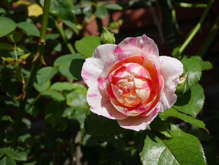 エドゥアール・マネ(Edouard Manet)の夏花が咲いた。半ツルバラ。2020年-006.jpg