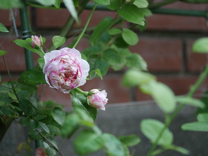 エドゥアール・マネ(Edouard Manet)の夏花が増えてきた。半ツルバラ。2020年-001.jpg
