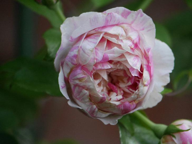 エドゥアール・マネ(Edouard Manet)の夏花が増えてきた。半ツルバラ。2020年-002.jpg