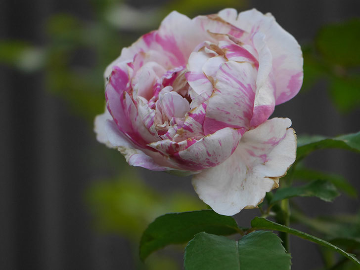 エドゥアール・マネ(Edouard Manet)の夏花が増えてきた。半ツルバラ。2020年-003.jpg