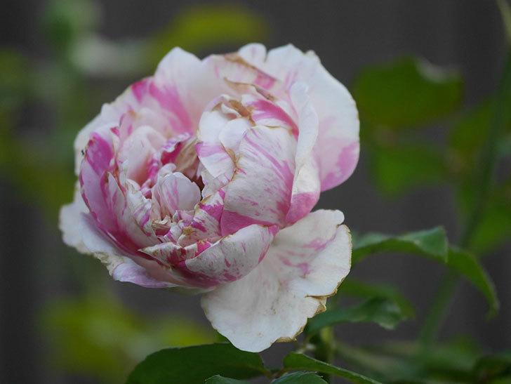 エドゥアール・マネ(Edouard Manet)の夏花が増えてきた。半ツルバラ。2020年-004.jpg