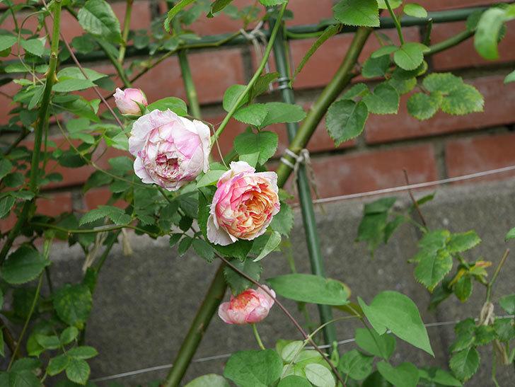 エドゥアール・マネ(Edouard Manet)の夏花が増えてきた。半ツルバラ。2020年-005.jpg