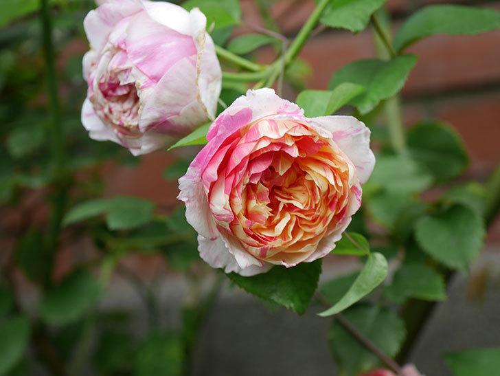 エドゥアール・マネ(Edouard Manet)の夏花が増えてきた。半ツルバラ。2020年-006.jpg
