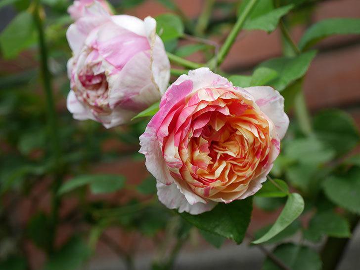 エドゥアール・マネ(Edouard Manet)の夏花が増えてきた。半ツルバラ。2020年-007.jpg