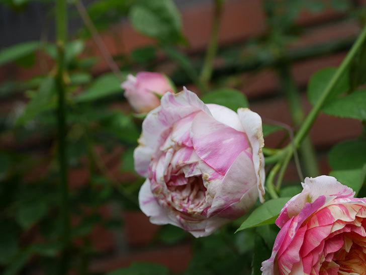 エドゥアール・マネ(Edouard Manet)の夏花が増えてきた。半ツルバラ。2020年-010.jpg