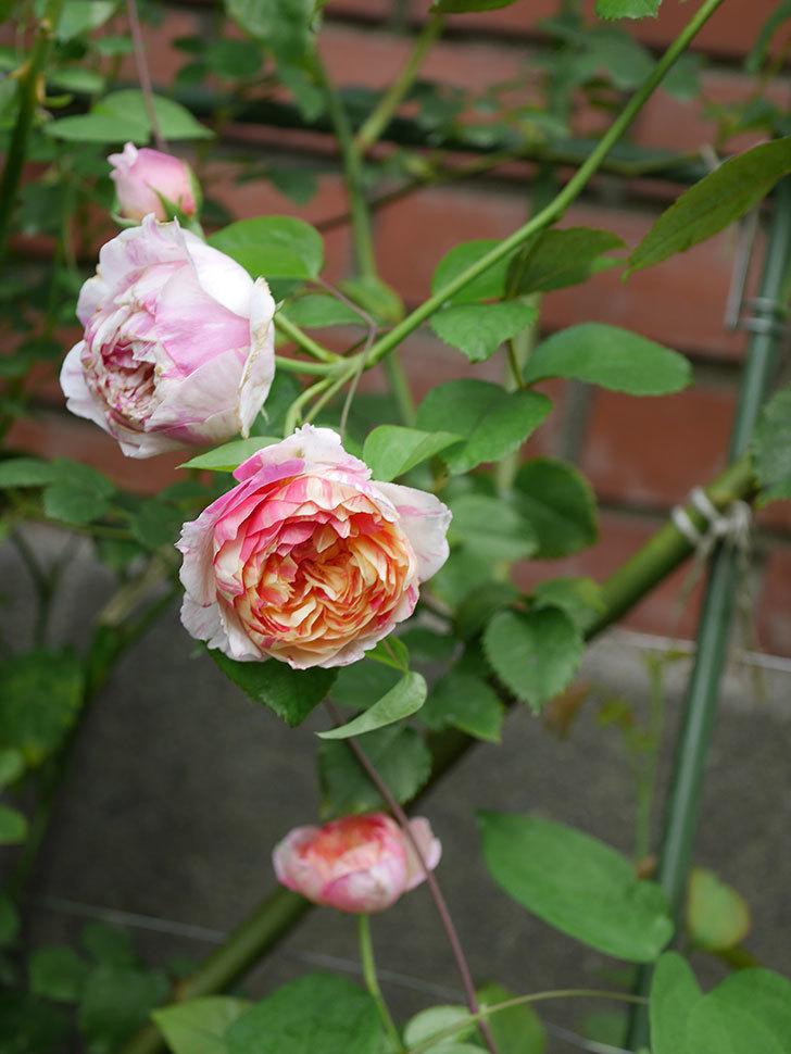 エドゥアール・マネ(Edouard Manet)の夏花が増えてきた。半ツルバラ。2020年-011.jpg