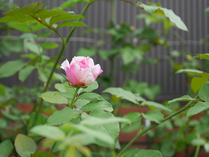 エドゥアール・マネ(Edouard Manet)の夏花が増えてきた。半ツルバラ。2020年-014.jpg