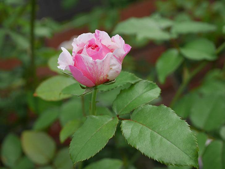 エドゥアール・マネ(Edouard Manet)の夏花が増えてきた。半ツルバラ。2020年-015.jpg