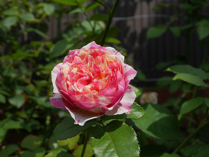 エドゥアール・マネ(Edouard Manet)の夏花が増えてきた。半ツルバラ。2020年-016.jpg