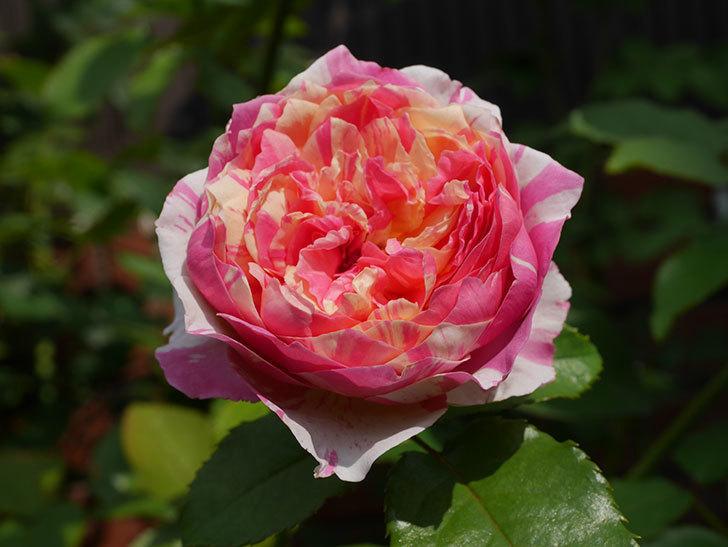 エドゥアール・マネ(Edouard Manet)の夏花が増えてきた。半ツルバラ。2020年-017.jpg