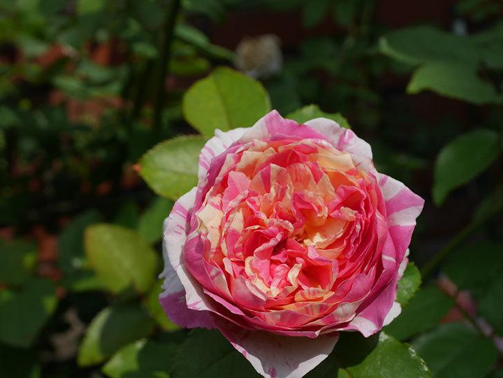 エドゥアール・マネ(Edouard Manet)の夏花が増えてきた。半ツルバラ。2020年-018.jpg