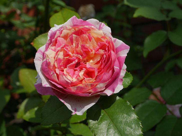 エドゥアール・マネ(Edouard Manet)の夏花が増えてきた。半ツルバラ。2020年-019.jpg