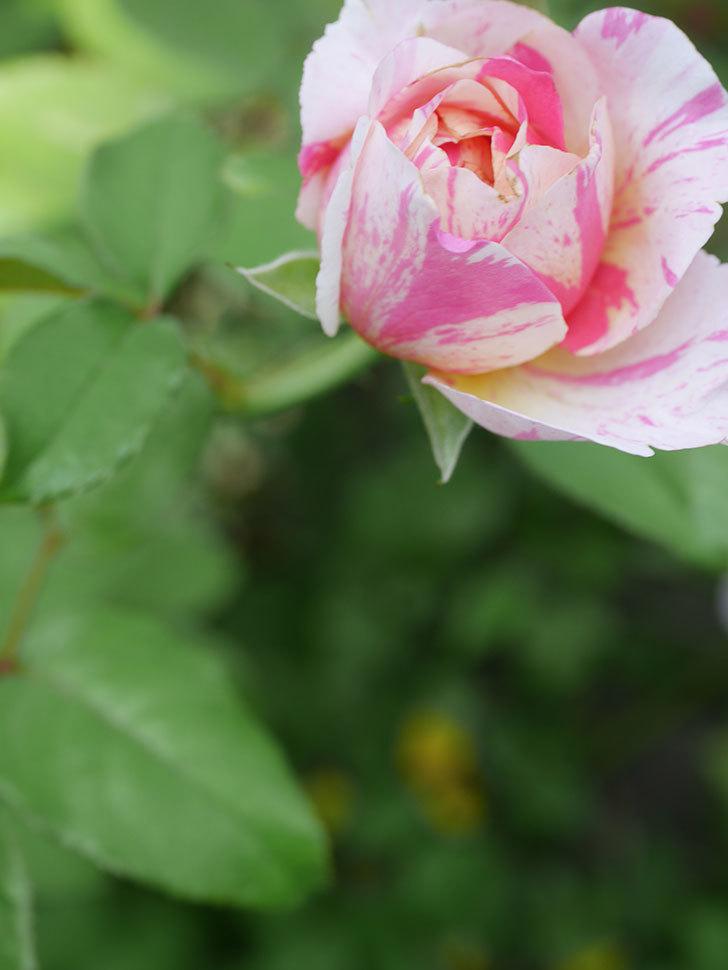 エドゥアール・マネ(Edouard Manet)の夏花が増えてきた。半ツルバラ。2020年-021.jpg