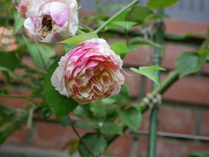 エドゥアール・マネ(Edouard Manet)の夏花が増えてきた。半ツルバラ。2020年-023.jpg