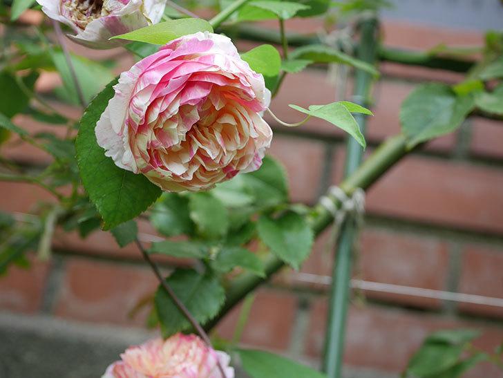 エドゥアール・マネ(Edouard Manet)の夏花が増えてきた。半ツルバラ。2020年-024.jpg