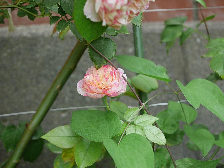 エドゥアール・マネ(Edouard Manet)の夏花が増えてきた。半ツルバラ。2020年-025.jpg