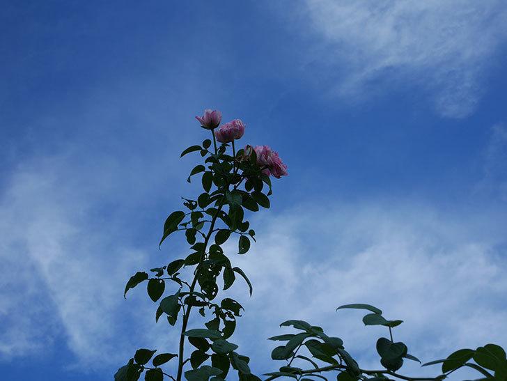 エドゥアール・マネ(Edouard Manet)の夏花が房で咲いた。半ツルバラ。2020年-001.jpg