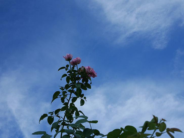 エドゥアール・マネ(Edouard Manet)の夏花が房で咲いた。半ツルバラ。2020年-002.jpg
