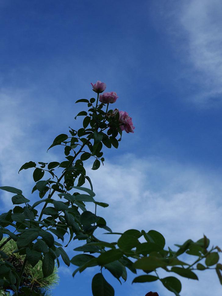 エドゥアール・マネ(Edouard Manet)の夏花が房で咲いた。半ツルバラ。2020年-003.jpg