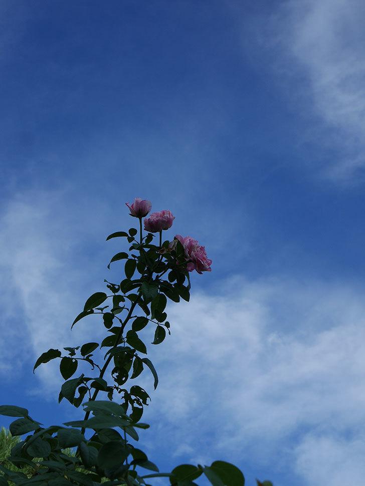 エドゥアール・マネ(Edouard Manet)の夏花が房で咲いた。半ツルバラ。2020年-004.jpg