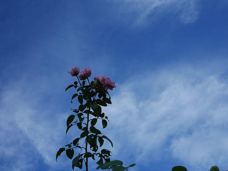エドゥアール・マネ(Edouard Manet)の夏花が房で咲いた。半ツルバラ。2020年-005.jpg