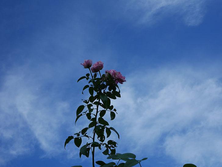 エドゥアール・マネ(Edouard Manet)の夏花が房で咲いた。半ツルバラ。2020年-006.jpg