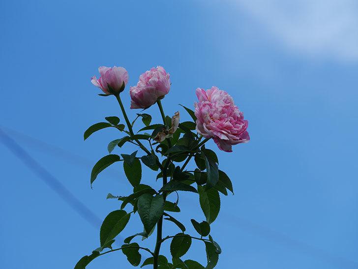 エドゥアール・マネ(Edouard Manet)の夏花が房で咲いた。半ツルバラ。2020年-007.jpg