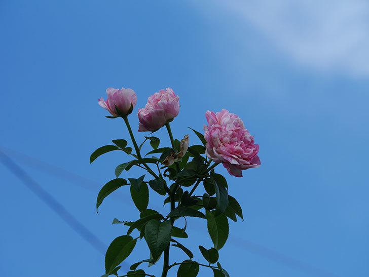 エドゥアール・マネ(Edouard Manet)の夏花が房で咲いた。半ツルバラ。2020年-008.jpg