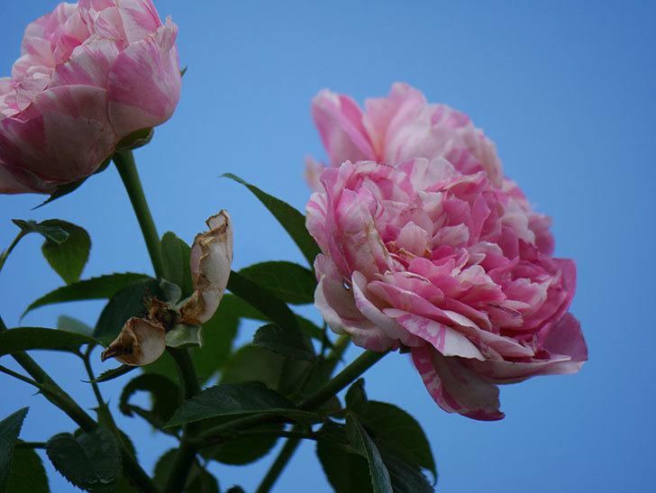 エドゥアール・マネ(Edouard Manet)の夏花が房で咲いた。半ツルバラ。2020年-009.jpg