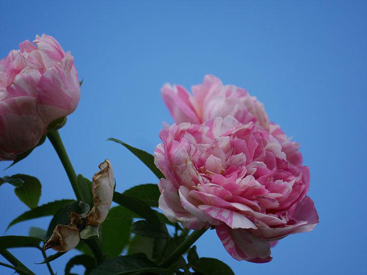 エドゥアール・マネ(Edouard Manet)の夏花が房で咲いた。半ツルバラ。2020年-010.jpg