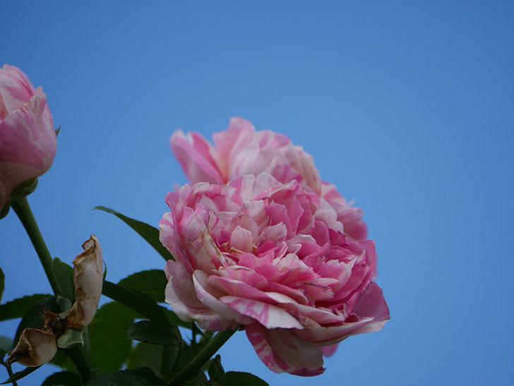 エドゥアール・マネ(Edouard Manet)の夏花が房で咲いた。半ツルバラ。2020年-011.jpg