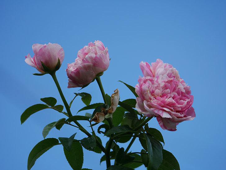 エドゥアール・マネ(Edouard Manet)の夏花が房で咲いた。半ツルバラ。2020年-013.jpg