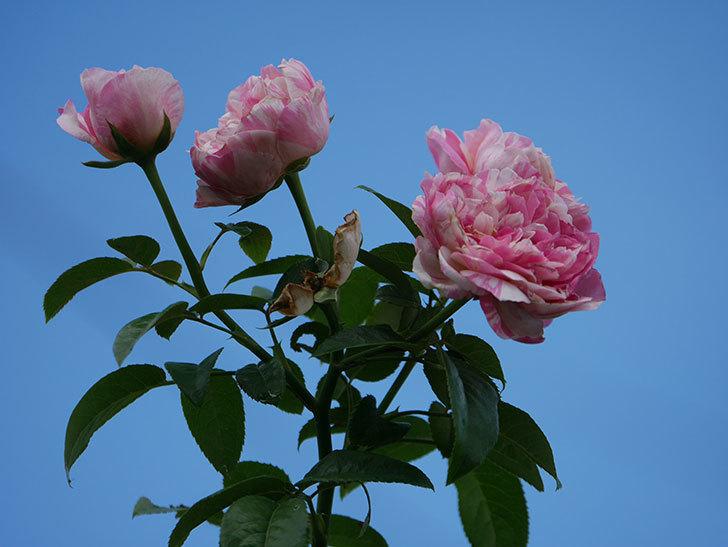 エドゥアール・マネ(Edouard Manet)の夏花が房で咲いた。半ツルバラ。2020年-014.jpg
