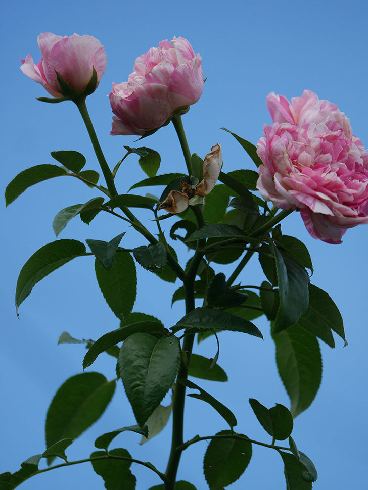 エドゥアール・マネ(Edouard Manet)の夏花が房で咲いた。半ツルバラ。2020年-015.jpg
