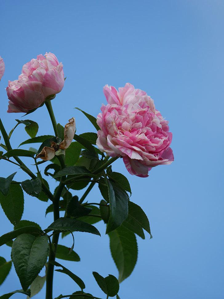 エドゥアール・マネ(Edouard Manet)の夏花が房で咲いた。半ツルバラ。2020年-016.jpg
