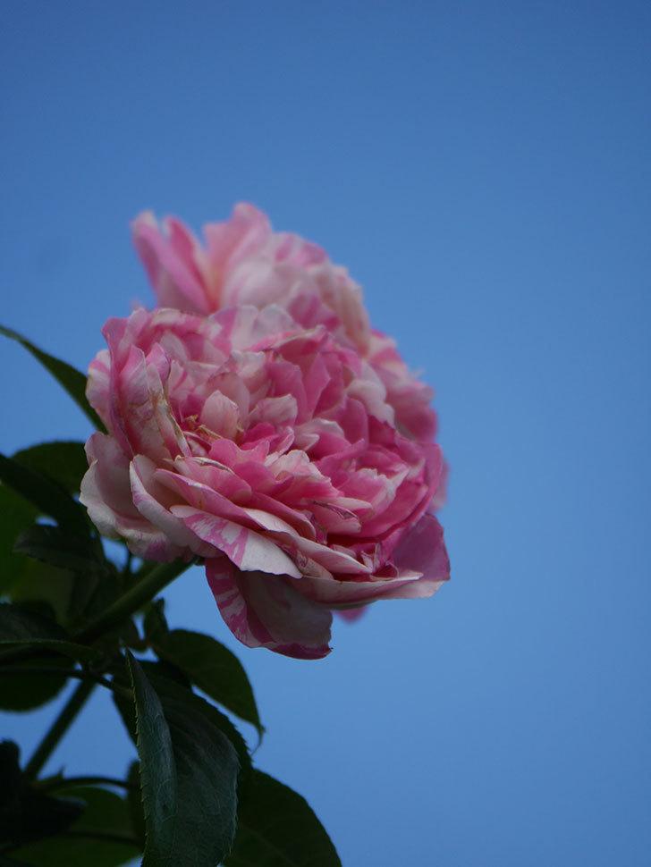エドゥアール・マネ(Edouard Manet)の夏花が房で咲いた。半ツルバラ。2020年-017.jpg