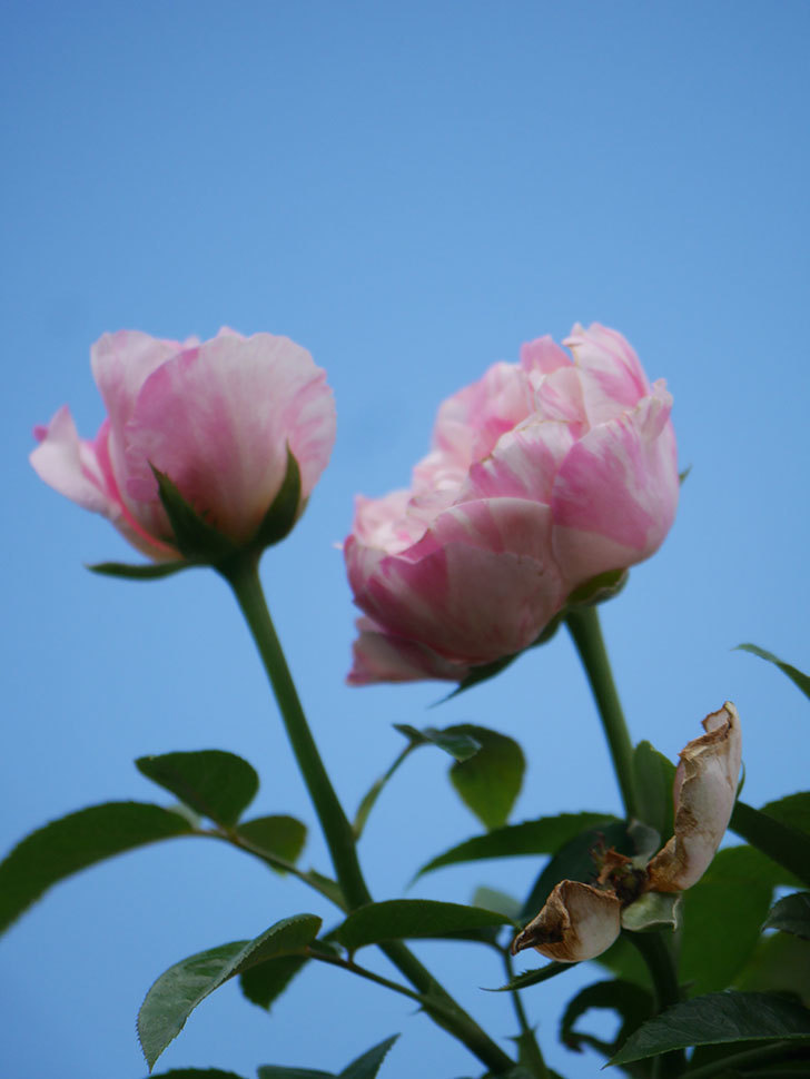 エドゥアール・マネ(Edouard Manet)の夏花が房で咲いた。半ツルバラ。2020年-018.jpg