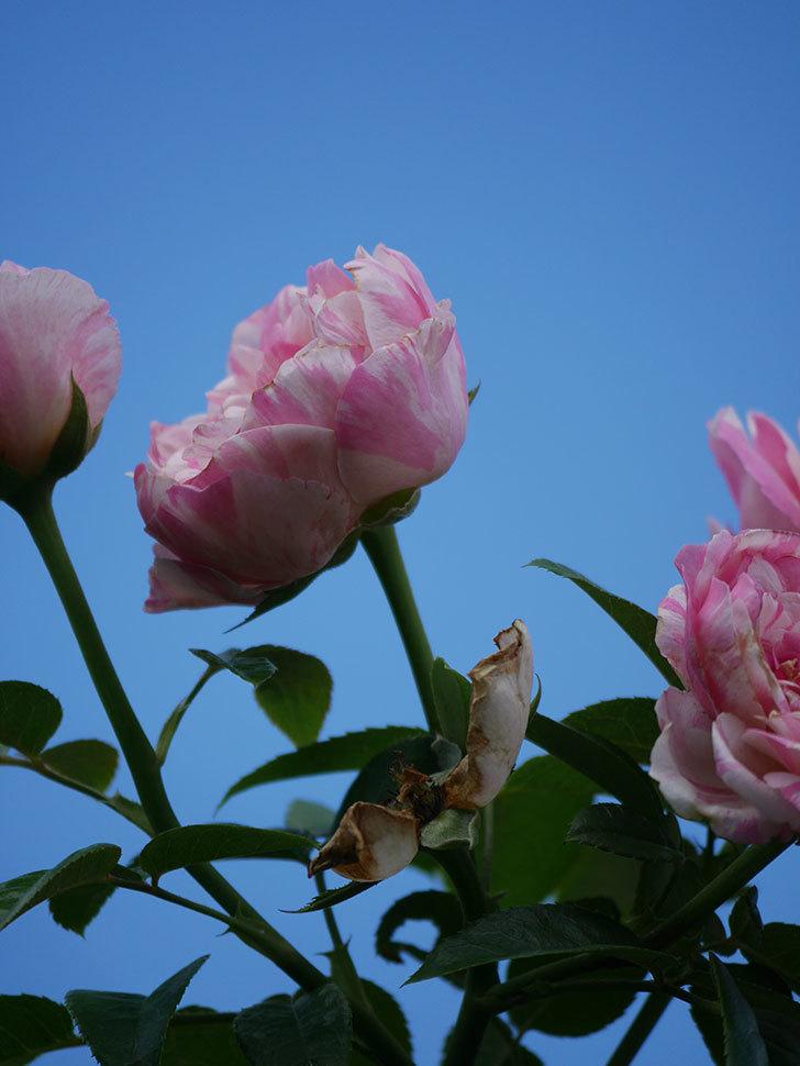 エドゥアール・マネ(Edouard Manet)の夏花が房で咲いた。半ツルバラ。2020年-019.jpg