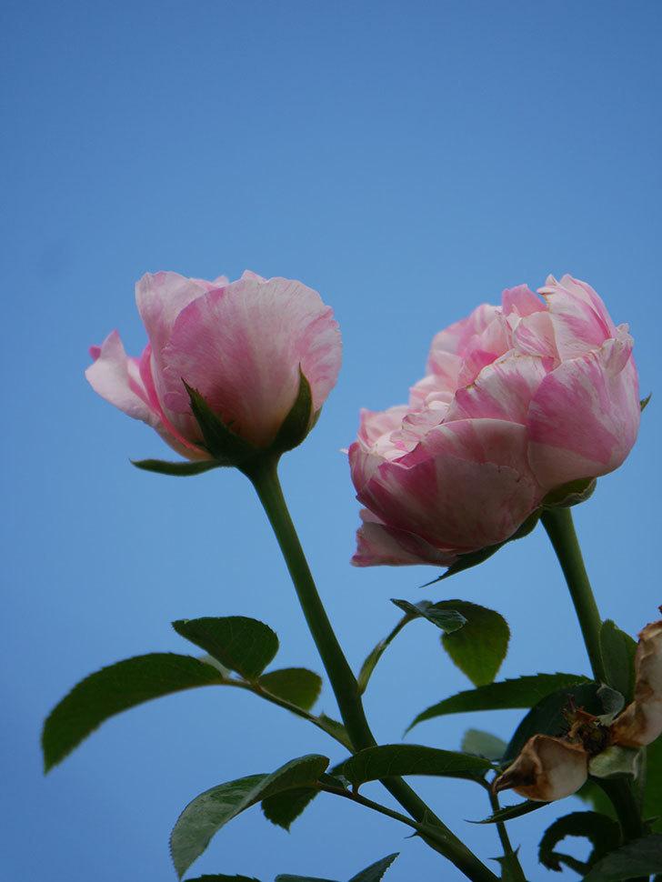 エドゥアール・マネ(Edouard Manet)の夏花が房で咲いた。半ツルバラ。2020年-021.jpg