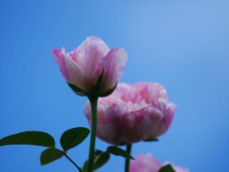 エドゥアール・マネ(Edouard Manet)の夏花が房で咲いた。半ツルバラ。2020年-023.jpg